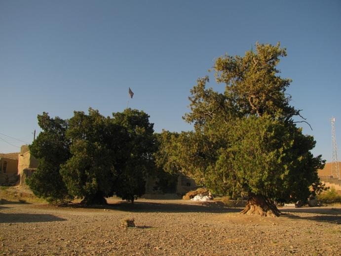 درختان سرو قدیمی روستای خونیک گدار قاینات