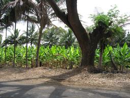 مزارع اطراف شهر میسور