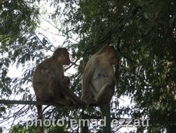 میمون های داخل کاخ تیپوسلطان