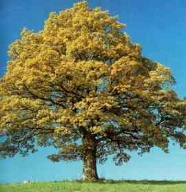 [تصویر:  Quercus_1_hiwa66_blogfa_com_.jpg]