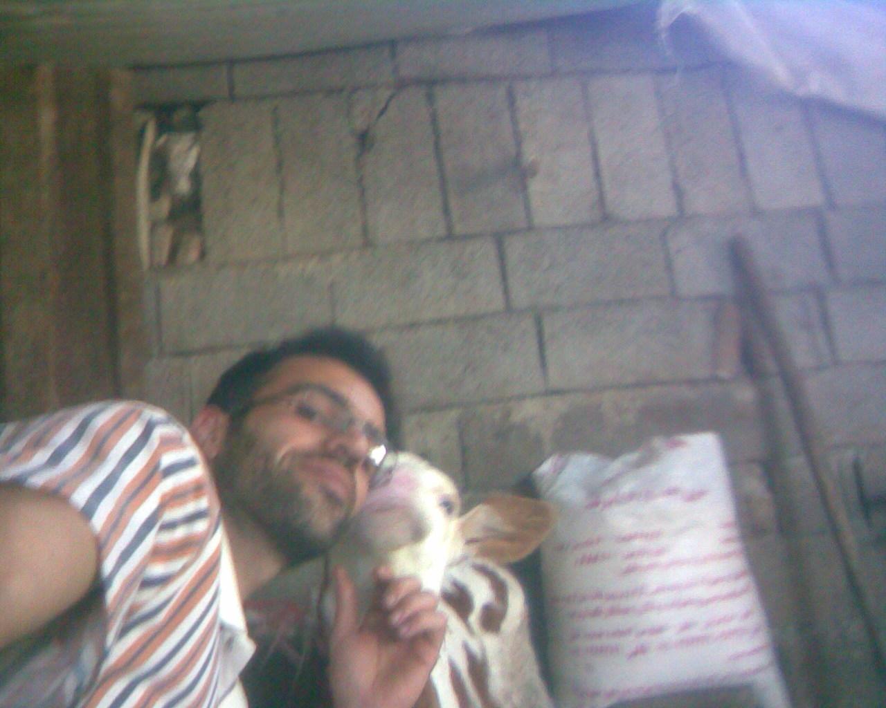 من و گوساله سمینتالم
