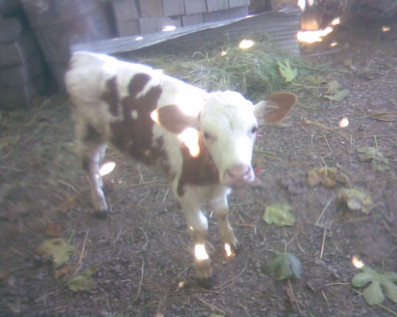 گوساله جدیدم در دامداری جدید