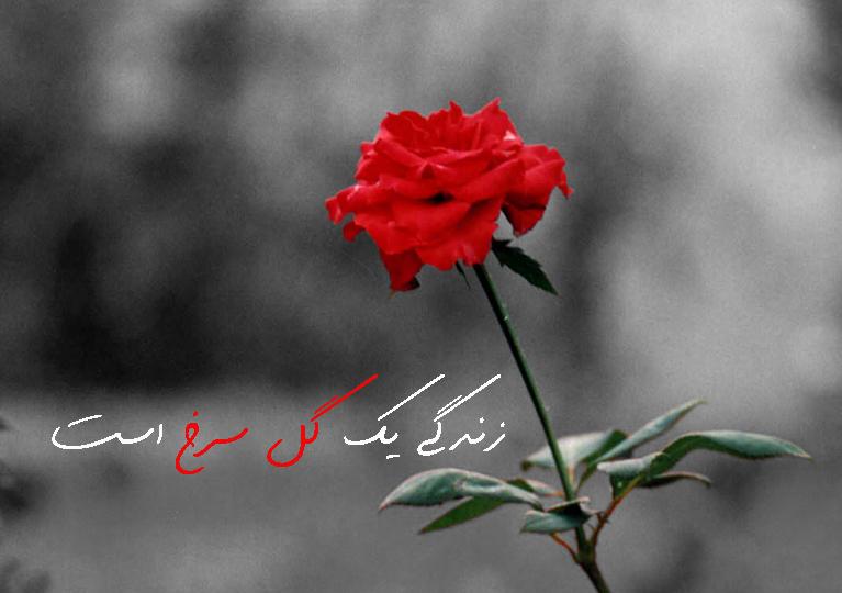 Image result for تصاویر متحرک گل مریم وبلبل