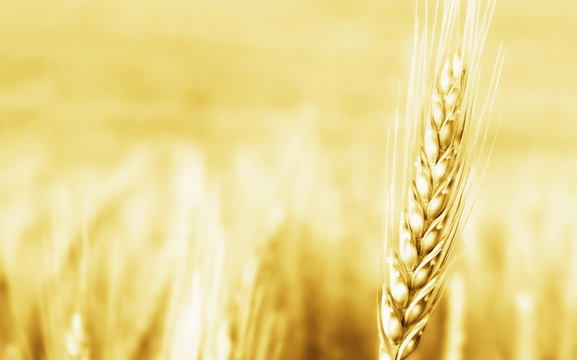 تصاویر زیبای گندمزار طلایی