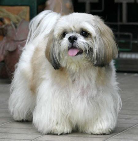 سگ نژاد شيتزو