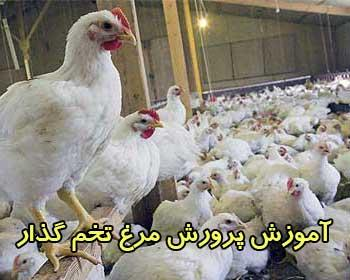 خرید آموزشي پرورش مرغ گوشتی و تخم گذار مادر