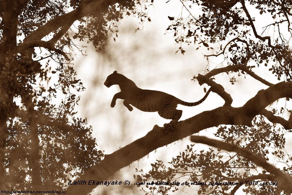 پارک ملی یلا سریلانکا(Lalith Ekanayake)