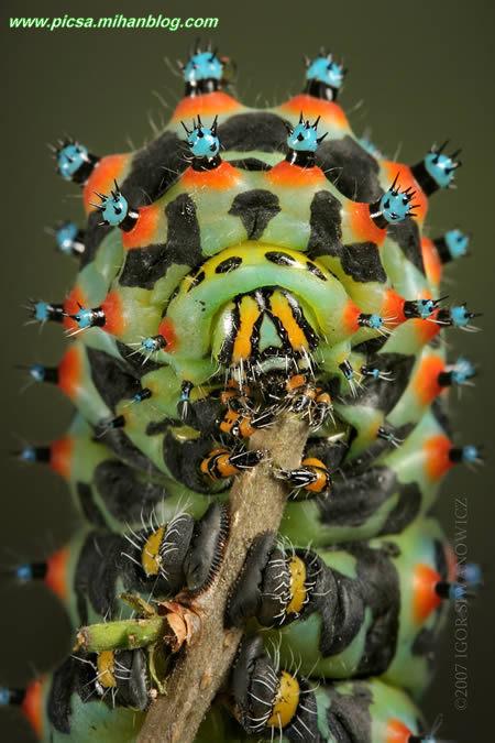 کرم پروانه کالتا