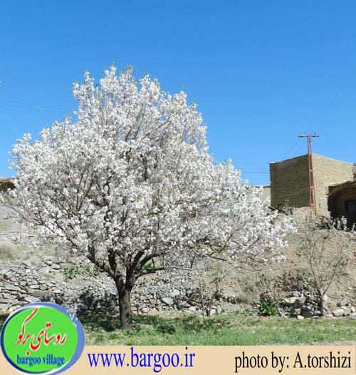 طبیعت بهاری روستای برگو