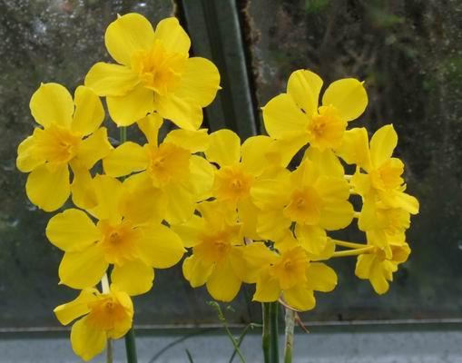 گل نرگس وحشی