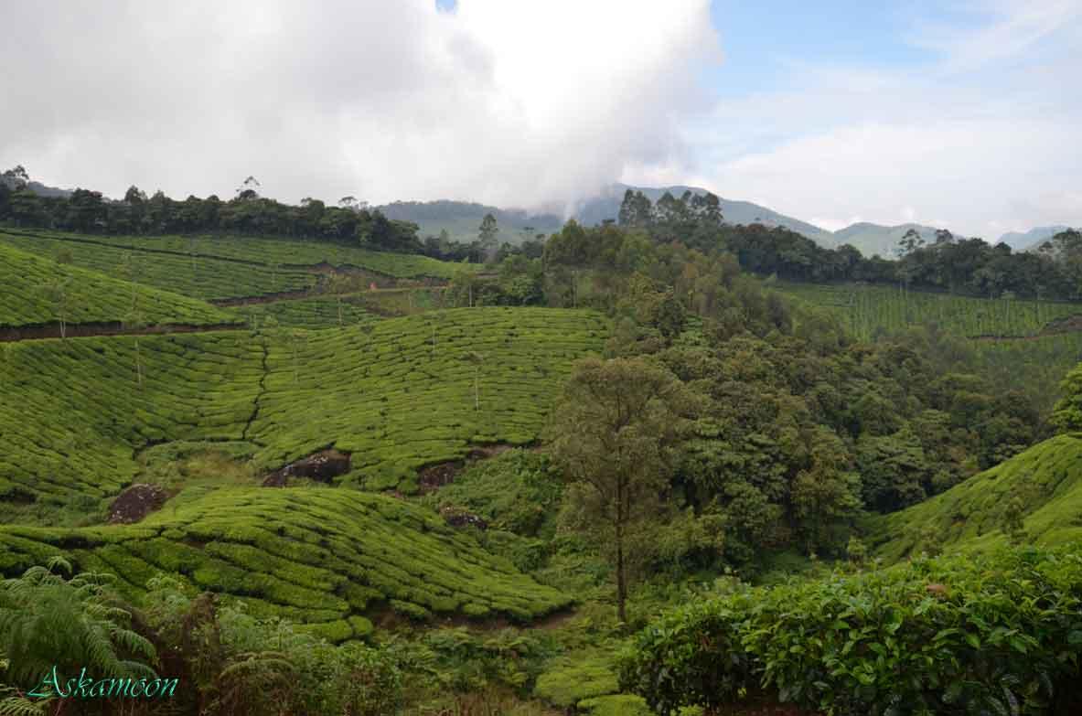 چای - هندوستان