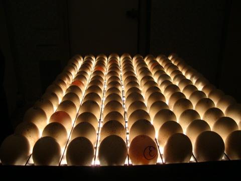 انتخاب تخم مرغهای جوجه کشی