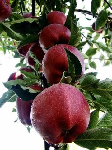 آموزش کاشت سیب