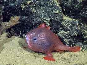 http://s2.picofile.com/file/7784288167/deep_sea_anglerfish_spotted_live_blue_juvenile_58595_600x450.jpg