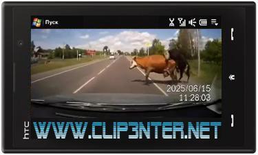 1450 کلیپ تصادف یک ماشین با دو گاو در حال جفت گیری