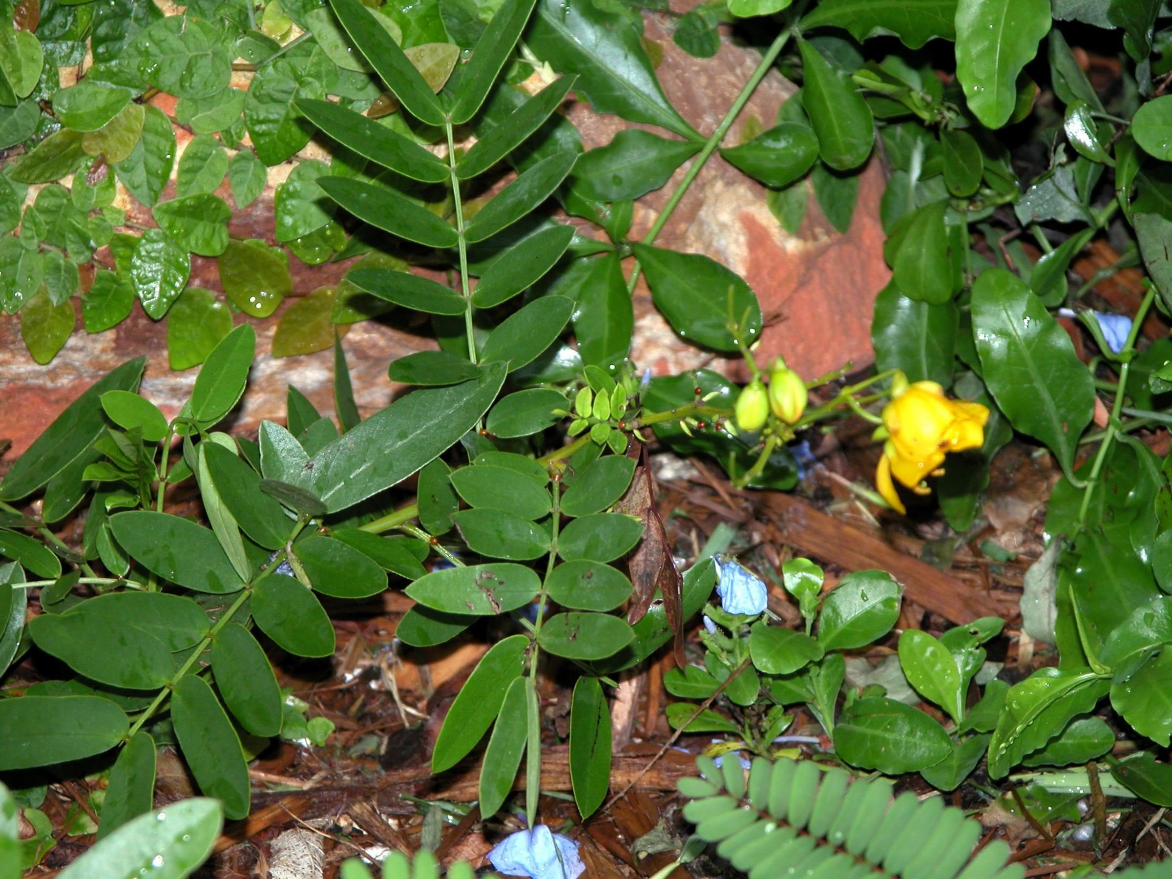 گیاهان دارویی مسهل