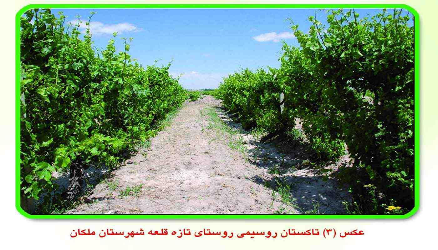 کاشت انگور به شکل تاکستان روسیمی
