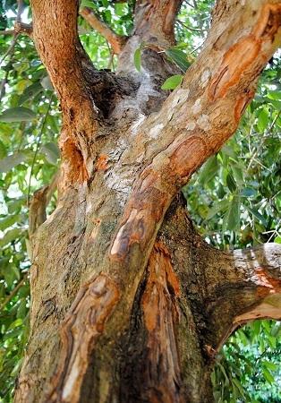 پوست درخت دارچین