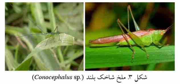 ملخ های شاخک بلند (.Conocephalus Sp)