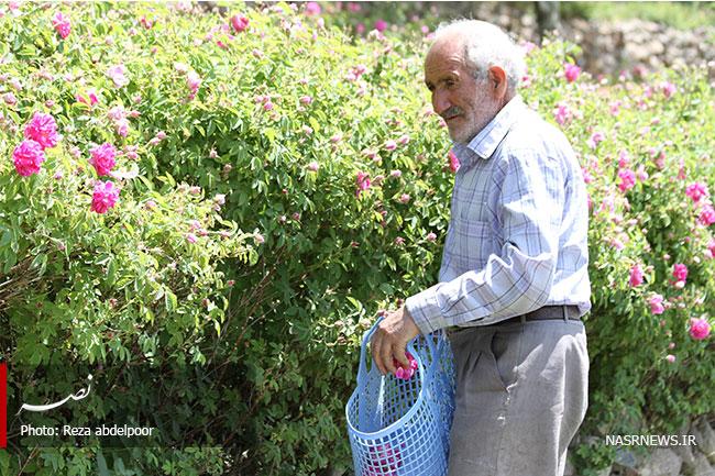 جشنواره گل محمدی
