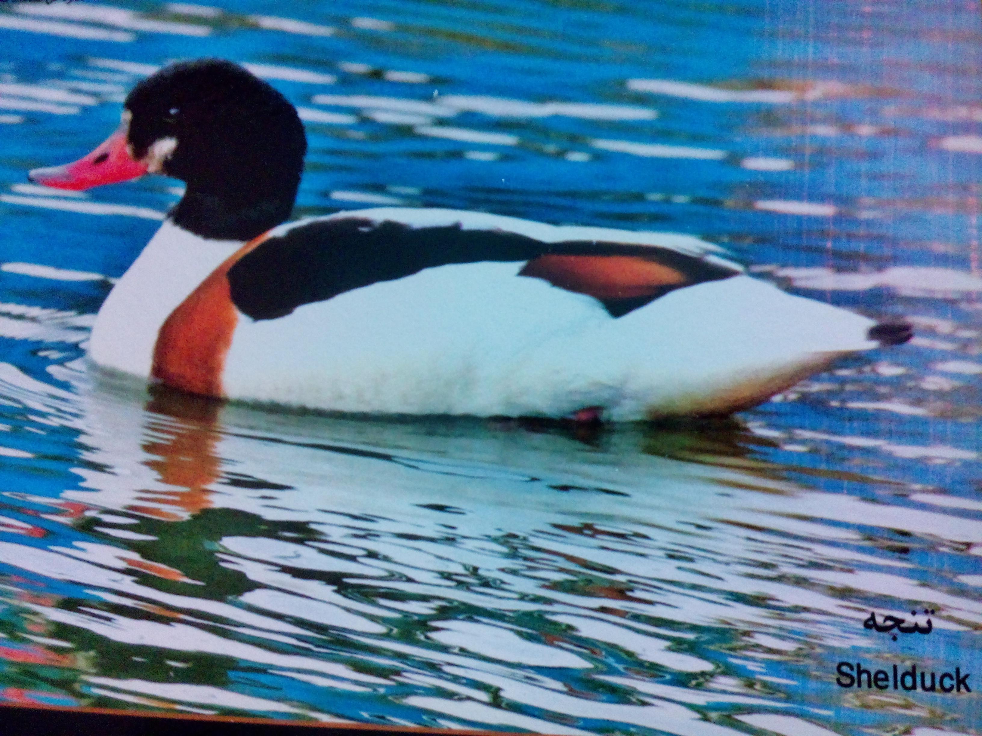 اردک غاز تنجه میانکاله زاغمرز