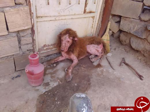 ماجرای پیدا شدن حیوانی عجیب شبیه شیر در باغ همدان+عکس