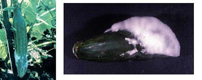نشریه بوته میری یا مرگ گیاهچه خیار