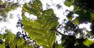 خسارت پروانه ابریشم باف ناجور