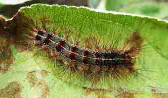 لارو پروانه ابریشم باف ناجور ( Lymantria Dispar )