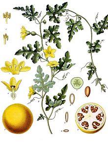 گیاهشناسی هندوانه ابوجهل