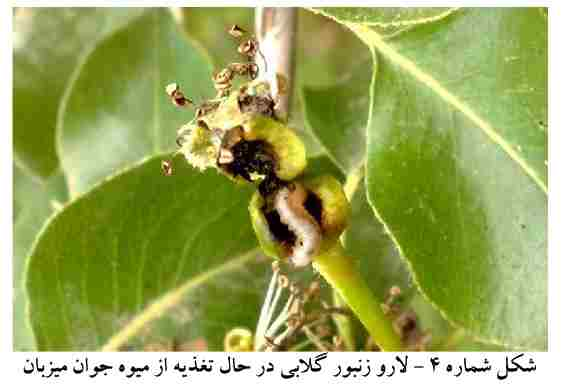 لارو زنبور گلابی