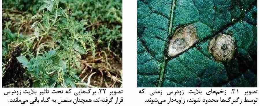 علایم بیماری بلایت زودرس روی برگ سیب زمینی
