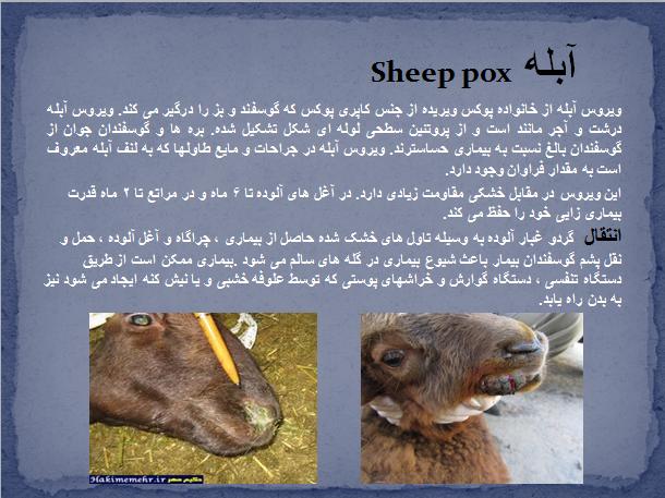 دانلود مقاله بیماری های ویروسی در گوسفند بصورت پاورپوینت ppt ، دانلود مقاله انواع بیماری های ویروسی گوسفند ، ویروس ، بیماری ویروسی دام ، درمان بیماری ویروسی ، پیشگیری از بیماری ویروسی گوسفندان ، علائم بیماری های ویروسی ، آبله ، sheep pox