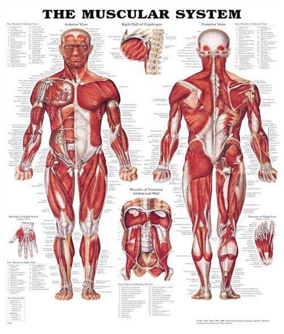 سازگاری های عضلانی متعاقب تمرینات ورزشی