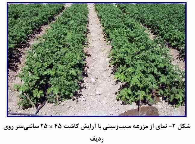 نمایی از مزرعه سیب زمینی با آرایش کاشت 45 در 25 روی ردیف