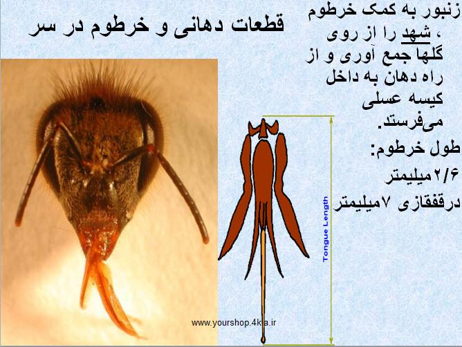 دانلود جزوه آناتومی زنبور عسل ، بیولوژی زنبور عسل ، تشریح زنبور عسل در قالب پاورپوینت ppt اجزای بدن زنبور عسل