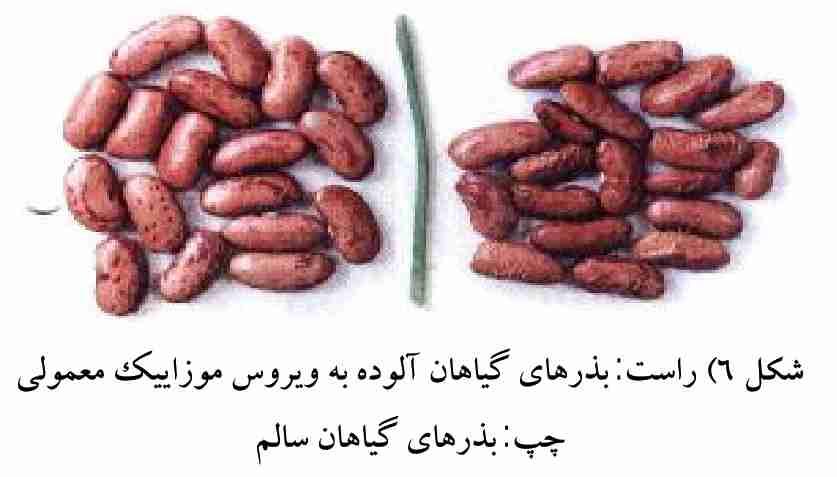 مقایسه بذرهای آلوده و به بیماری ویروس موزاییک معمولی لوبیا با بذرهای سالم