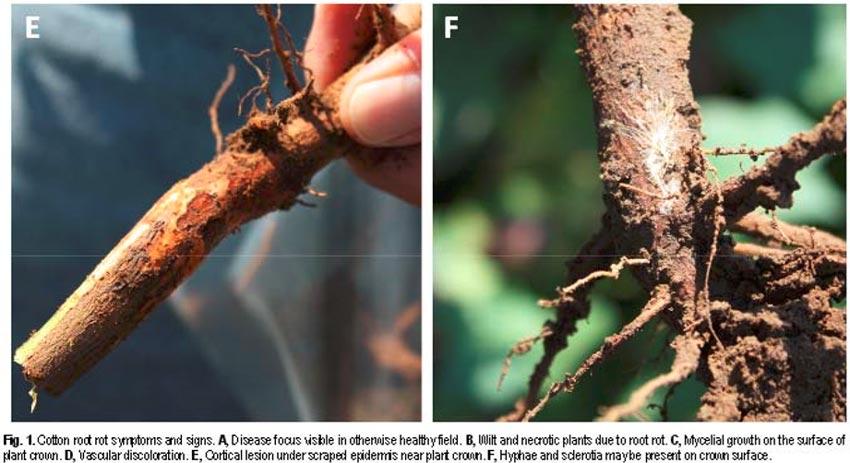 راههای آلودگی به بیماری پوسیدگی ریشه پنبه