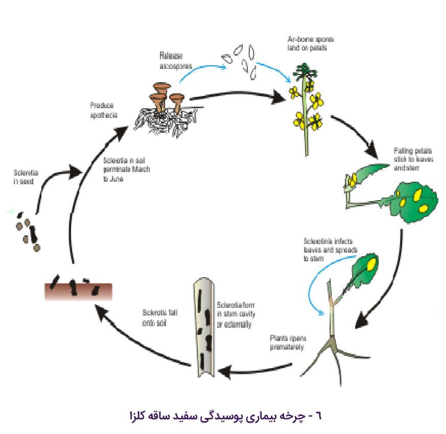 چرخه زندگی بیماری پوسیدگی اسکلروتینایی ساقه کلزا
